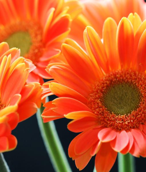daisies24