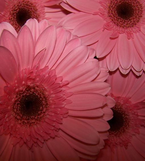 gerbera roosa