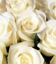 valge roos 50